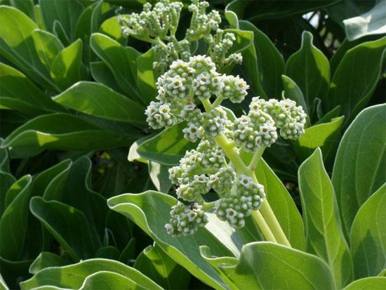 Ngoài ra, lá cây phong ba có thể làm thuốc chữa rắn biển cắn.