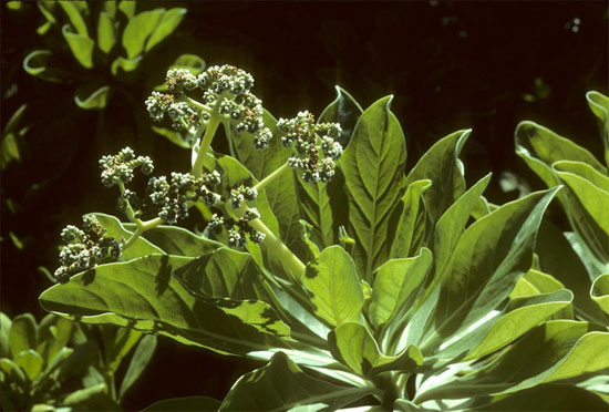 Tại Việt Nam, cây phong ba mọc tự nhiên tại nhiều hòn đảo như Cồn Cỏ (Quảng Trị), Côn Đảo, Bãi Canh (Bà Rịa-Vũng Tàu), quần đảo Trường Sa (Khánh Hoà)…