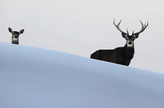 Hươu đỏ đứng trên núi Pfänder phủ đầy tuyết trắng ở Bregenz, Áo.