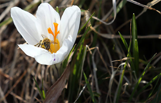Một con ong đang hút mật hoa dưới  nắng mùa xuân trong vườn bách thảo quốc gia ở Carmarthen, xứ Wales.