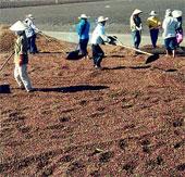 Nông dân tự sản xuất phân vi sinh từ vỏ hạt cà phê