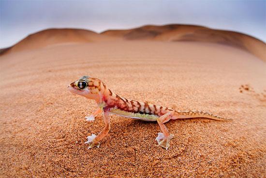 Tắc kè chân màng trên sa mạc Namib ở Namibia.