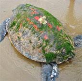 Rùa biển nặng gần tạ mắc lưới ngư dân
