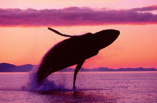 Cá voi lưng gù (còn gọi là Megaptera novaeangliae) là một loài cá voi tấm sừng hàm.