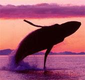 Xem màn trình diễn tuyệt vời của cá voi lưng gù