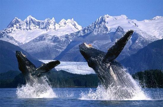 Là một loài cá voi lớn, nó có chiều dài từ 12–16 mét (39–52 ft) và cân nặng khoảng 36.000 kilôgam (79.000lb).