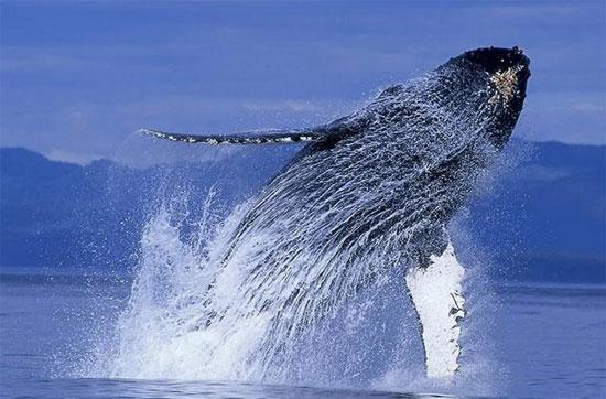 Cá voi lưng gù có một hình dạng cơ thể đặc biệt, vây ngực dài khác thường và đầu có u.Nó là một con vật nhào lộn, thường trồi lên mặt nước.