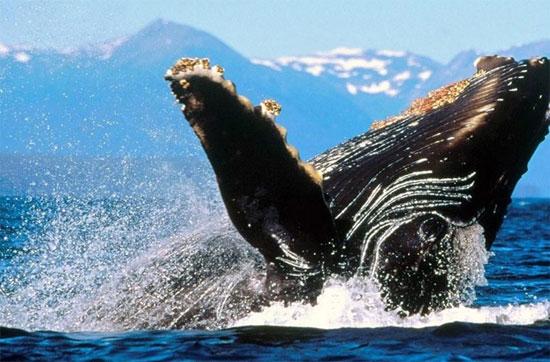 Loài này được tìm thấy trong đại dương và biển trên toàn thế giới, cá voi lưng gù thường di chuyển khoảng cách lên đến 25.000 kilômét (16.000mi) mỗi năm.
