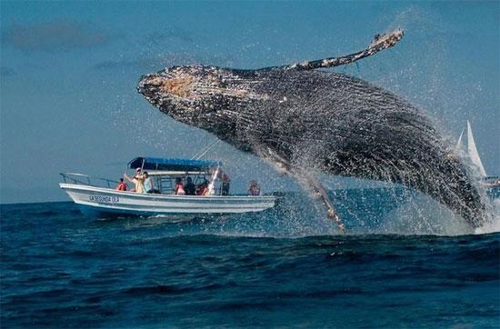 Cá voi lưng gù chỉ ăn ở vùng cực vào mùa hè và di cư đến các vùng nước nhiệt đới và cận nhiệt đới để giao phối và sinh sản vào mùa đông.