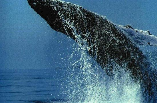 Trong mùa đông, cá voi lưng gù nhịn ăn và tiêu dần số mỡ dự trữ.
