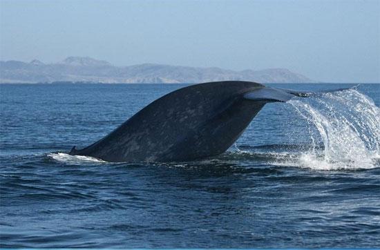Chế độ ăn của cá voi lưng gù gồm có động vật thân mềm và cá.