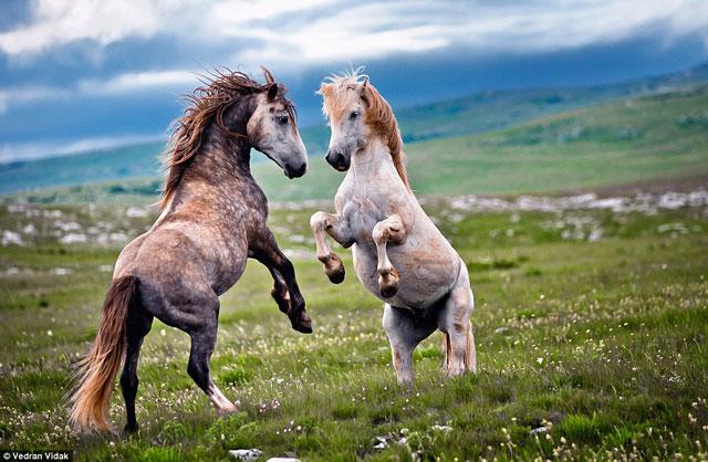 Đẹp: Những trận đấu trước giao phối của loài ngựa