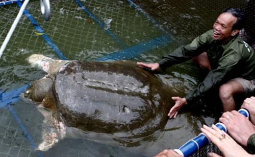 Cụ Rùa được cho ăn cá, bôi thuốc kháng khuẩn