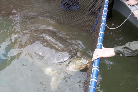 Xét nghiệm ADN: Rùa hồ Gươm là loài mới