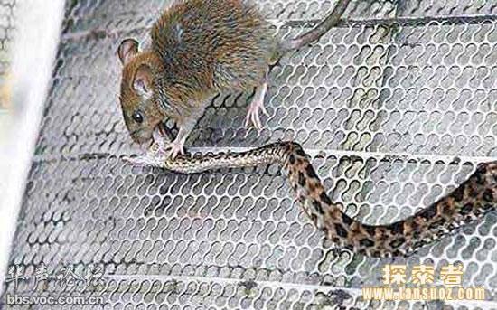 Chuột đánh rắn tới chết trong nửa giờ