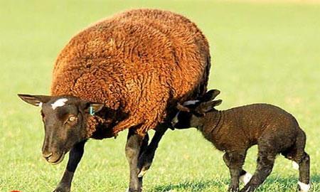 Cừu có thể hóa giải thuốc nổ TNT qua tiêu hóa