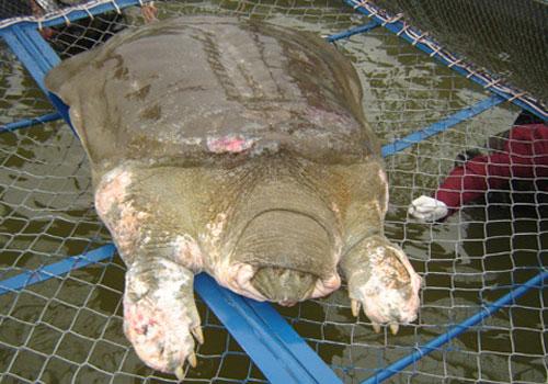 Rùa Hồ Gươm không thể sống lâu trên cạn