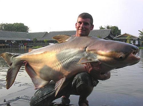 Những loài cá khổng lồ của sông Mekong