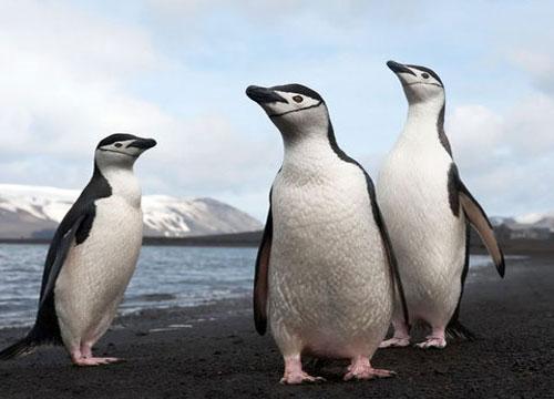 Chim cánh cụt Nam Cực giảm nghiêm trọng