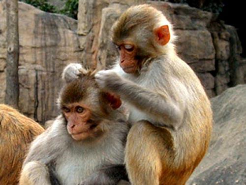 """Clip khỉ và lợn """"tình thân mến thân"""""""