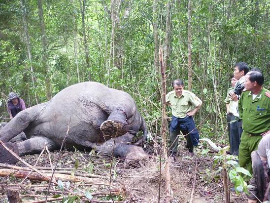 Cận cảnh vết chém dã man giết chết voi Đà Lạt