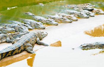 Cá sấu đột nhập nhà tắm