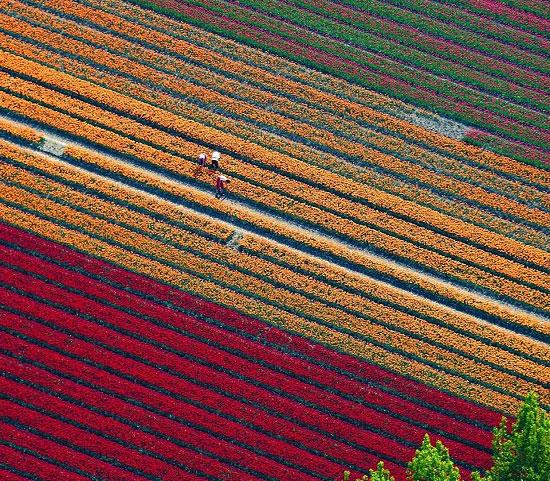 Cánh đồng hoa tulip thần kỳ