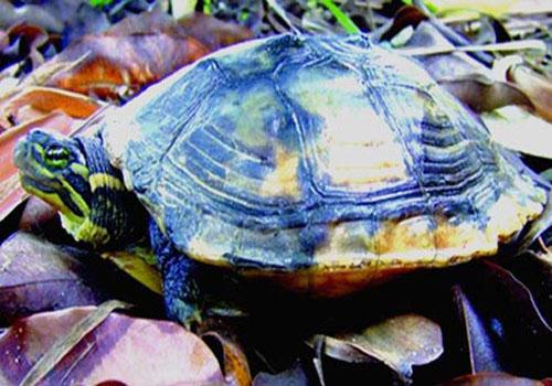 Lập Trung tâm bảo tồn rùa Trung Bộ