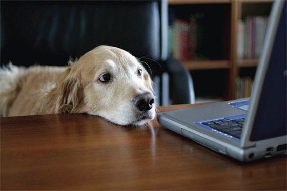 Mang chó đi làm để giảm căng thẳng