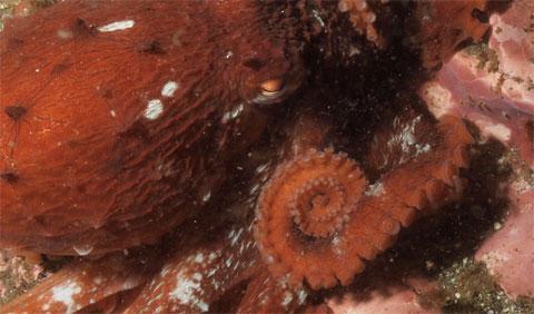 Bạch tuộc Enteroctopus dofleini được tìm thấy ở các vùng biển phía bắc Thái Bình Dương, bao gồm cả vùng biển thuộc bang Alaska của Mỹ.