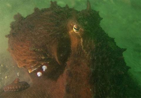 Nhưng nhóm của Scheel đã tìm ra một giải pháp. Họ gắn thiết bị phát âm thanh vào lớp da ở mang của bạch tuộc.