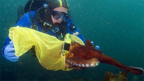 Sau khi gắn thiết bị phát sóng lên cơ thể 40 con bạch tuộc, nhóm nghiên cứu thả chúng xuống nước rồi dùng máy nghe dưới nước để theo dõi chúng.
