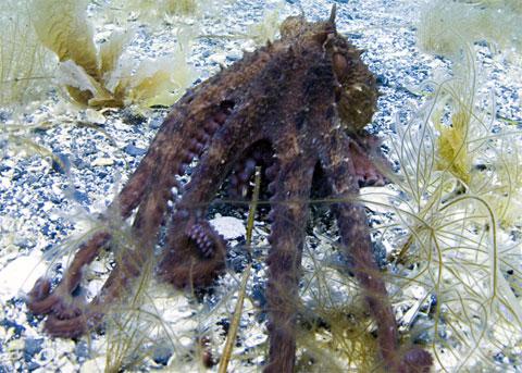 Nhóm nghiên cứu cũng nhận thấy loài bạch tuộc lớn nhất thế giới sử dụng địa hình đáy biển để định hướng. Chúng nhớ những vật cố định trên đáy biển để tìm đường về hang.