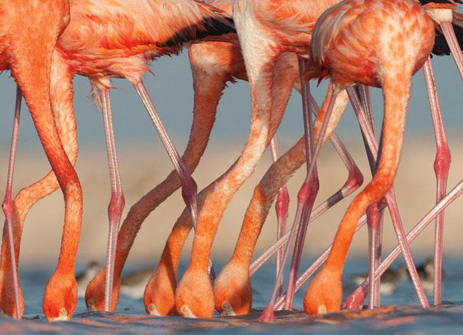 Những chú chim hồng hạc, sống gần Sisal, Mexico. Vài nhóm sinh sản chính sống trong ở gần vùng Caribbean và xa hơn.