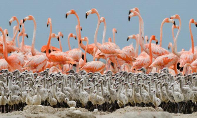 Khi những chú chim con một vài tuần tuổi, cha mẹ để lại chúng ở lại trong nhà và đi tìm kiếm thức ăn, đến đêm mới trở về cho chúng ăn.