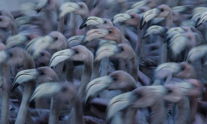 Một chú chim hồng hạc Caribbean chạy cất cánh từ những chỗ nước nông của Ría Lagartos.