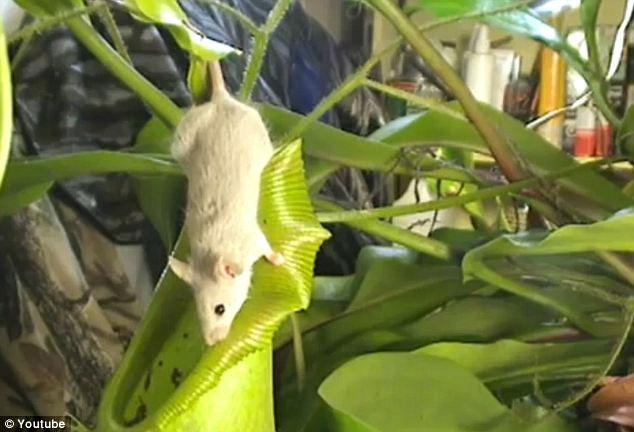 Kinh dị cây ăn thịt chuột