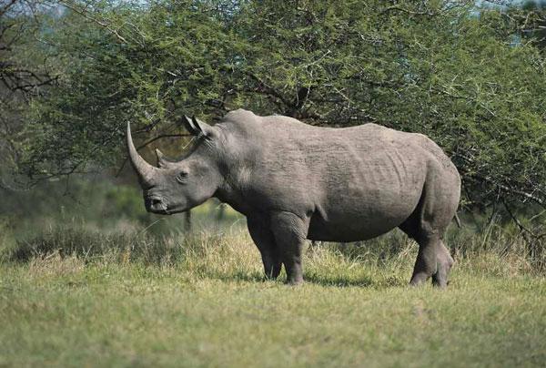 Tê giác châu Phi sắp tuyệt chủng