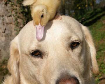 """""""Tình bạn"""" hiếm có giữa chó và vịt"""