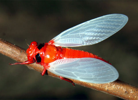 Ve sầu bụng đỏ Huechys sanguinea.