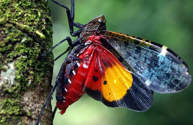 Ve sầu bụng đỏ Penthicodes variegata