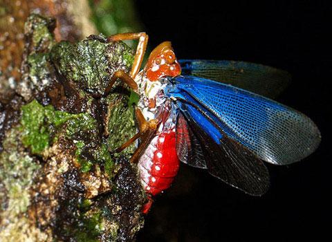 Ve sầu cánh lam Polydictya sp. ở Đồng Nai.