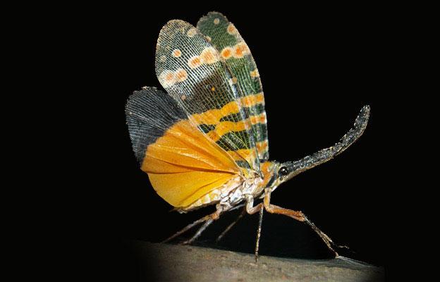 Ve sầu vòi voi cánh vàng Pyrops caldelaria