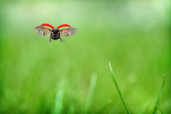 Dáng bay ngang ngộ nghĩnh của một con bọ rùa.