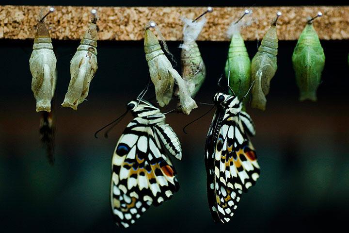 Tại Trung tâm bảo tồn bướm Benalmadena (Tây Ban Nha), hai chú bướm Papilio demoleus mới chui ra khỏi kén, xuất hiện với bộ cánh tuyệt đẹp.