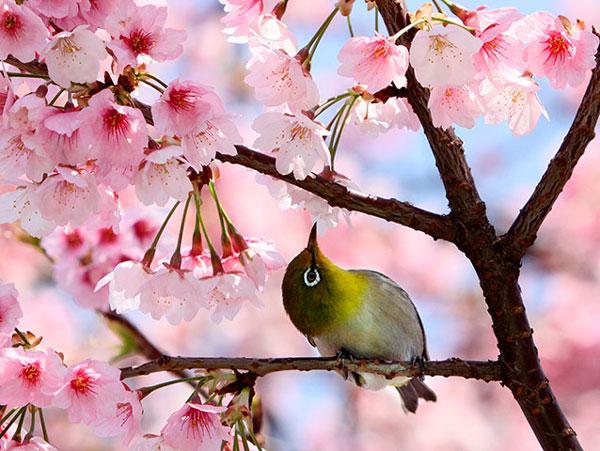 Tại một công viên ở Tokyo (Nhật Bản), chú chim nhỏ dường như quá say đắm sắc hồng của những bông hoa anh đào nở rộ nên cứ ngoái cổ nhìn ngắm mãi không biết chán.