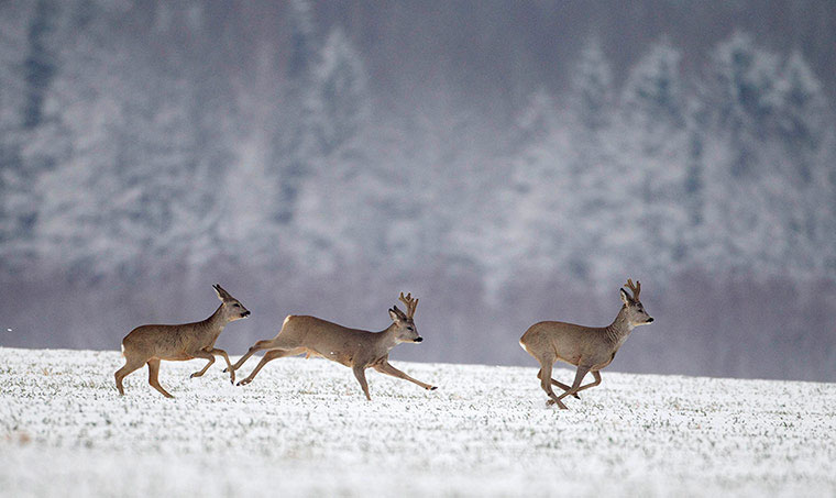 Ba con nai cái tung tăng nhảy nhót trên cánh đồng bị phủ trắng bởi mưa tuyết.