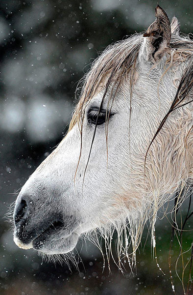 Một chú ngựa con đang run rẩy trong tuyết lạnh ở Brecon Beacons, miền nam xứ Wales (Anh).