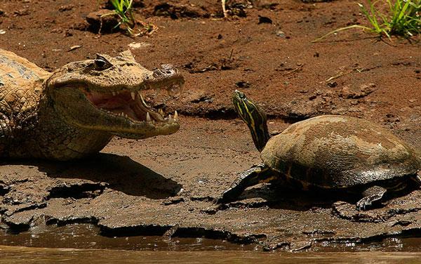 Ảnh động vật đẹp nhất tuần qua: Rùa thách thức cá sấu