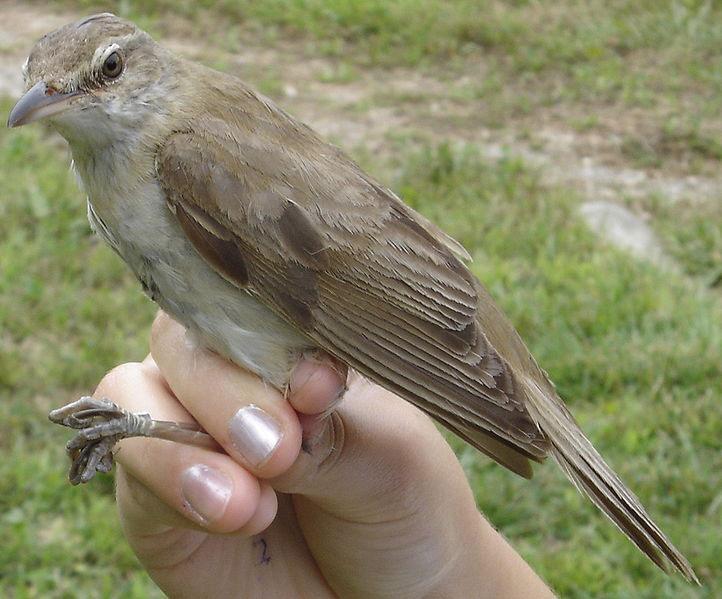 Chim chích sậy mỏ lớn từng là loài chim ít được biết tới nhất trên thế giới. Suốt nhiều thế kỷ, người ta chỉ biết đến nó nhờ một mẫu hóa thạch thu được vào năm 1867. Tới năm 2006 tại Thái Lan, người ta phát hiện một quần thể chim chim chích sậy mỏ lớn. Dù thế, đến nay, loài chim này vẫn còn là một bí ẩn.